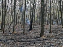 Foresta dopo fuoco. Fotografie Stock Libere da Diritti