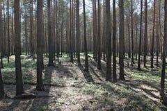 Foresta dopo fuoco Fotografie Stock