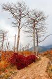 Foresta dopo fuoco Fotografia Stock