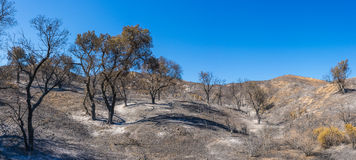 Foresta dopo l'incendio violento di California Immagine Stock