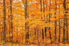Foresta dorata di autunno Immagini Stock Libere da Diritti