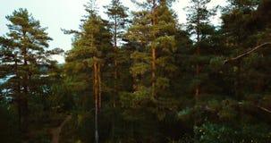 Foresta e conifere nel Nord Paesaggio russo con i pini ed abete, giorno soleggiato in natura selvaggia Fuco aereo stock footage