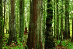 Foresta e conifertrees di nord-ovest pacifici Immagini Stock