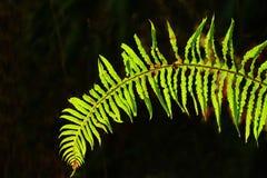 Foresta e felce di spada di nord-ovest pacifiche Fotografie Stock Libere da Diritti