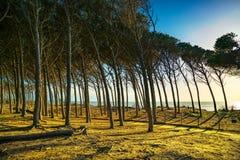 Foresta e mare marittimi italiani del pino del pino Marina di Ce Fotografia Stock Libera da Diritti