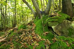 Foresta e muschio Fotografia Stock