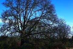 Foresta e querce di nord-ovest pacifiche dell'Oregon Fotografia Stock