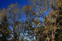 Foresta e querce di nord-ovest pacifiche dell'Oregon Immagine Stock