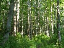 Foresta ed alberi del Maryland Fotografie Stock Libere da Diritti