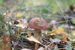 Foresta edulis di autunno dei funghi di raccolto del fungo di porcino del boletus fotografie stock