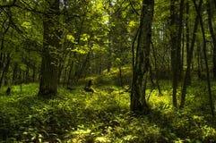 Foresta Elvish Fotografia Stock Libera da Diritti