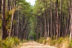 Foresta europea dell'albero di pino Fotografia Stock