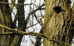 Foresta europea Woody Woodpecker fotografia stock libera da diritti