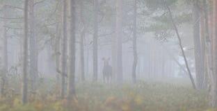 Foresta, foschia, silenzio ed alci Fotografia Stock Libera da Diritti