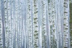 Foresta gelida della betulla Immagine Stock Libera da Diritti