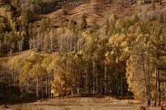 Foresta gialla in autunno Fotografia Stock