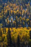 Foresta gialla luminosa nelle montagne di Altai, Russia di autunno nave Fotografie Stock