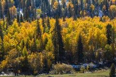 Foresta gialla luminosa nelle montagne di Altai, Russia di autunno nave Fotografia Stock Libera da Diritti