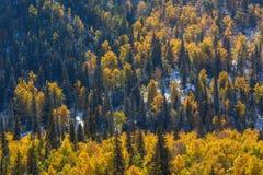 Foresta gialla luminosa nelle montagne di Altai, Russia nave Fotografie Stock