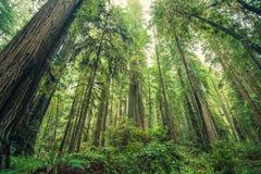 Foresta gigante delle sequoie Fotografia Stock