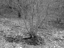 Foresta grigia Fotografie Stock Libere da Diritti
