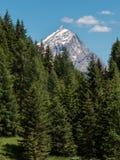 Foresta: Gruppo di abeti verdi nell'ora legale e picco delle alpi italiane delle dolomia nel fondo Immagine Stock