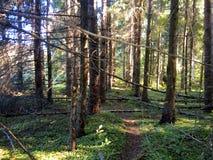 Foresta incantata Immagine Stock