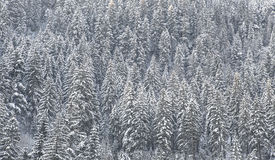 Foresta innevata fotografia stock