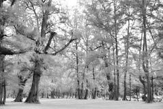Foresta invecchiata di legno di pino contro vento dalla spiaggia dell'oceano, lo astratto Fotografie Stock Libere da Diritti