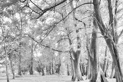 Foresta invecchiata di legno di pino contro vento dalla spiaggia dell'oceano, lo astratto Fotografia Stock