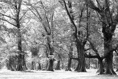 Foresta invecchiata di legno di pino contro vento dalla spiaggia dell'oceano, lo astratto Immagine Stock Libera da Diritti