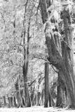 Foresta invecchiata di legno di pino contro vento dalla spiaggia dell'oceano, lo astratto Immagini Stock Libere da Diritti