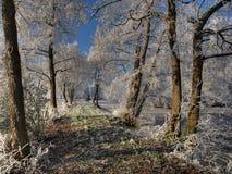 Foresta in inverno Immagine Stock Libera da Diritti