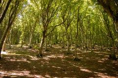 Foresta italiana della quercia fotografia stock