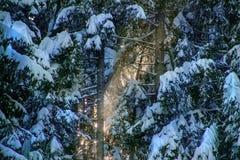 Foresta leggiadramente di inverno immagini stock