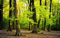 Foresta luminosa Immagine Stock