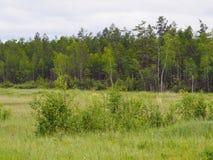 Foresta mista della larice-betulla Immagini Stock Libere da Diritti