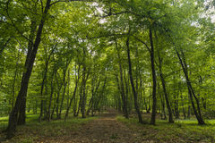 foresta misteriosa, Hoia-Baciu, Romania Immagine Stock Libera da Diritti