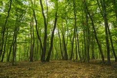 foresta misteriosa, Hoia-Baciu, Romania Immagini Stock Libere da Diritti