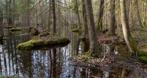 Foresta mixed bagnata di primavera con acqua stagnante Immagini Stock Libere da Diritti