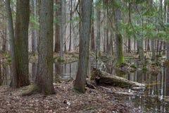 Foresta mixed bagnata di primavera con acqua stagnante Immagini Stock
