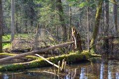 Foresta mixed bagnata di primavera con acqua stagnante Fotografie Stock