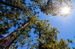Foresta molto alta di legno di pino Fotografia Stock