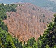 Foresta in montagne di Ciucas Immagini Stock