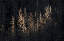 Foresta morta della conifera Immagini Stock