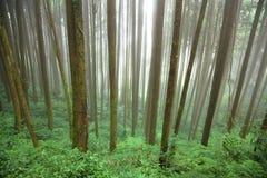 Foresta in nebbia Fotografia Stock