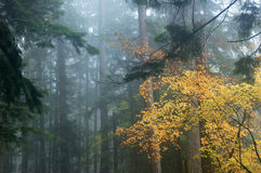 Foresta nebbiosa Fotografia Stock
