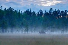 Foresta nebbiosa con l'orso bruno in nebbia Sopporti nascosto nella foresta di autunno della foresta con l'animale Bello orso bru Immagini Stock Libere da Diritti