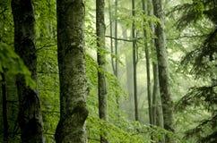 Foresta nebbiosa del faggio con i grandi tronchi in priorità alta fotografie stock libere da diritti