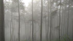 Foresta nebbiosa del pino Fotografia Stock Libera da Diritti